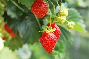 20110520102402strawberries-300x200.jpg