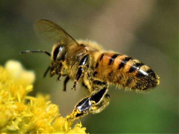 Honey bee thumbnail