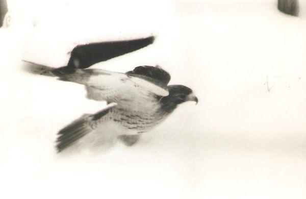 Snow bird thumbnail