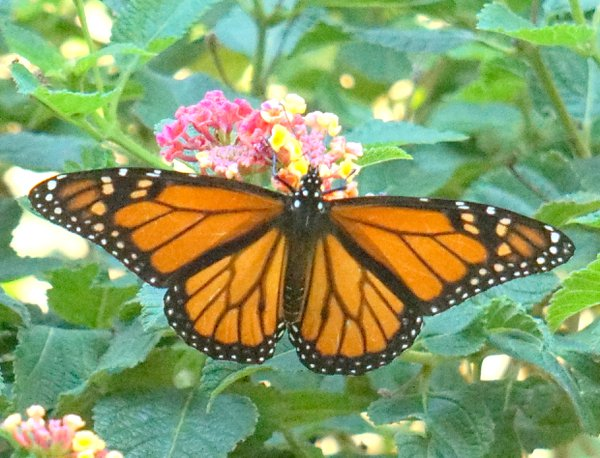 monarch migration in south Texas thumbnail
