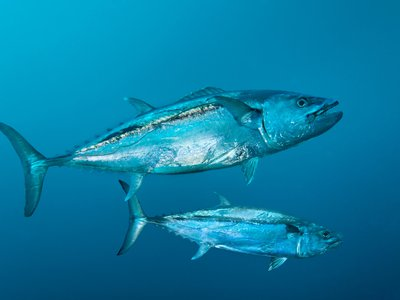 Tuna are a hot commodity in Japan at this time of year —so hot that a sushi chef paid $37,500 for a single fish. Here, dogtooth tuna swim in the Indian Ocean.