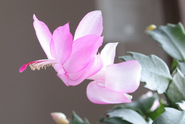 Christmas cactus bloom thumbnail