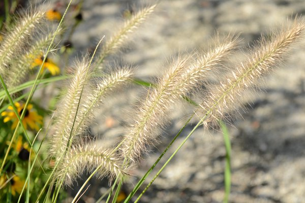 Fuzzy Golden Grass thumbnail