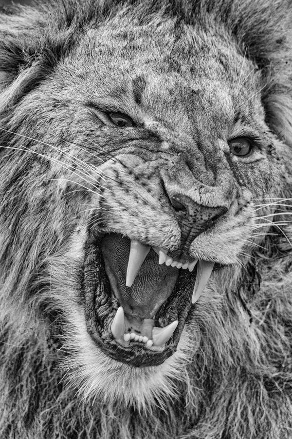 Portrait of a Lion thumbnail