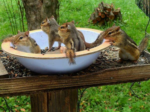 Eastern Chipmunks Sharing Bird Seed Bowl thumbnail