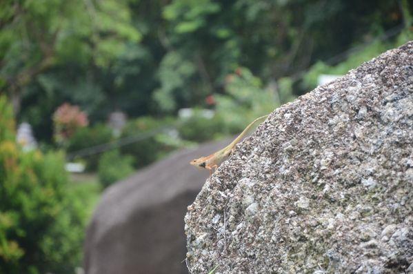 Small Lizard thumbnail
