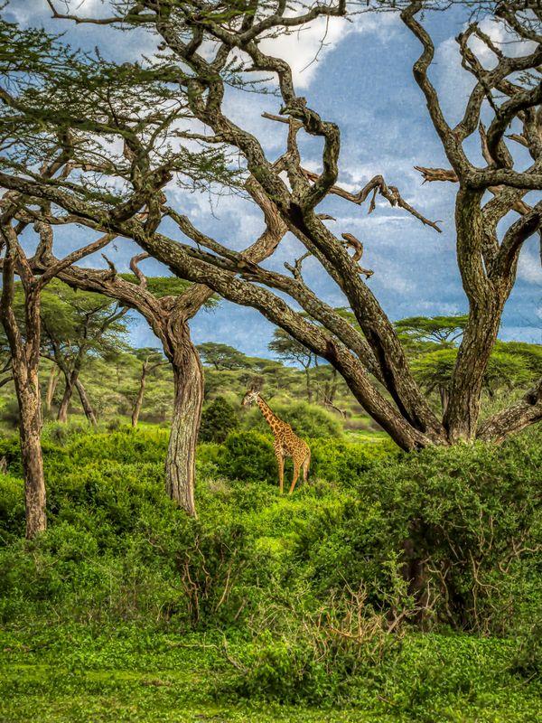 A lone giraffe in Tanzania thumbnail