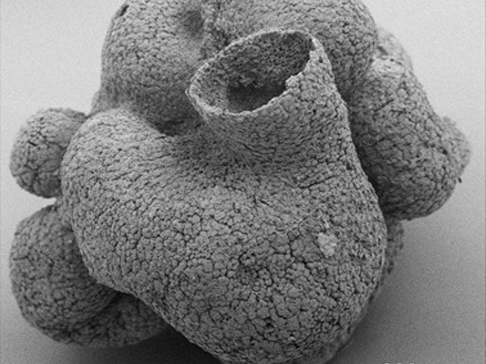 Sponge-like fossil