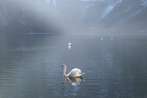 A swan swimming in Lake Hallstatt thumbnail