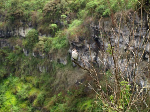Galapagos mockingbird and scalesia trees
