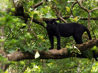 A melanistic Indian leopard in Nagarhole National Park.