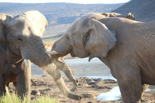 Elephant's loving rivalry thumbnail