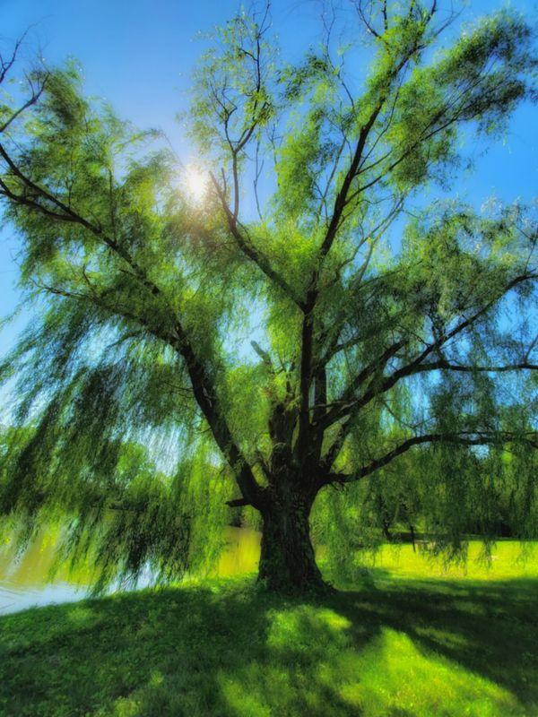 Magical Weeping Willow  thumbnail