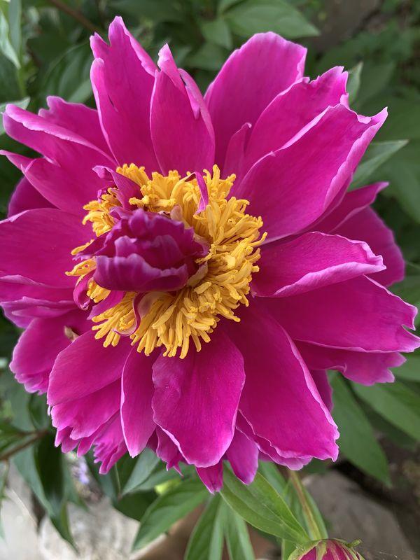 First Bloom Spring Peony, Albany NY thumbnail
