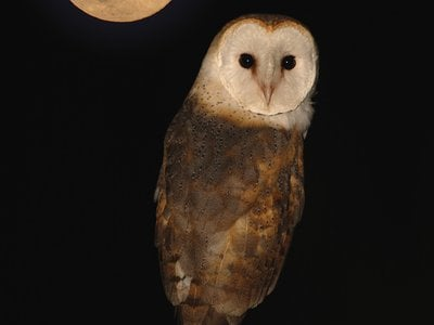 A barn owl by the light of the moon.