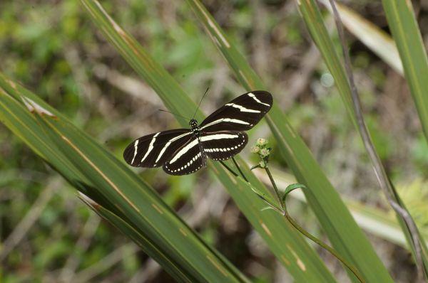 Zebra longwing thumbnail