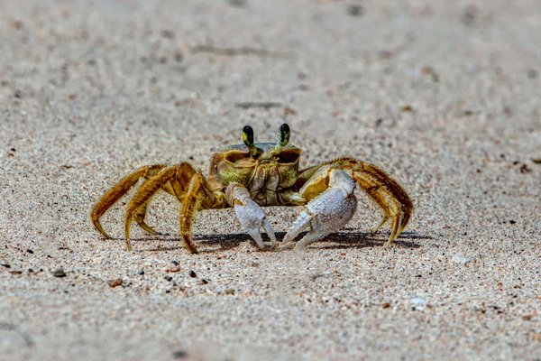 Crab on the beach thumbnail
