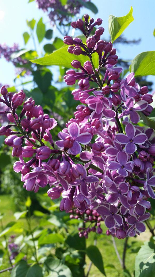 Lilacs on display at the Lilac Festival thumbnail