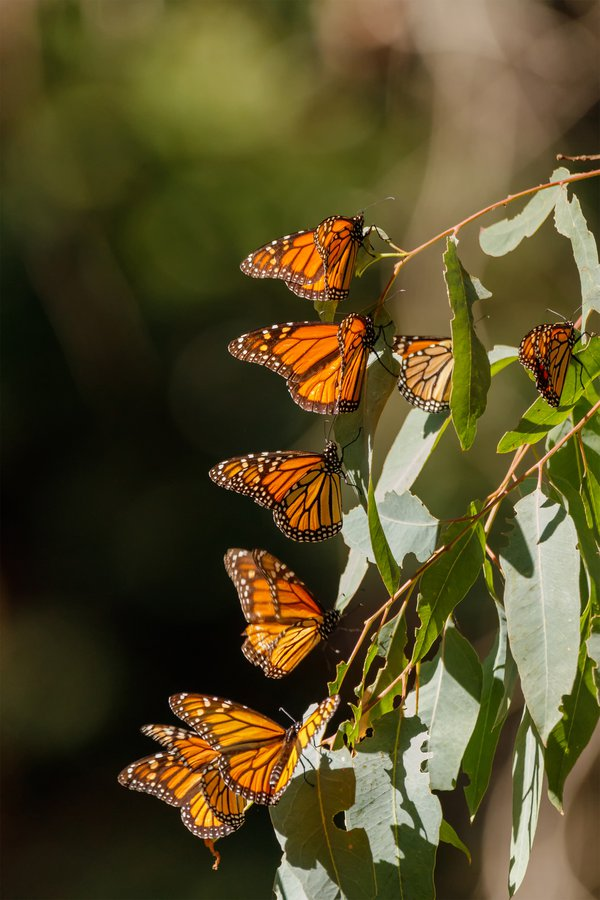 Western Monarch  Sanctuary thumbnail