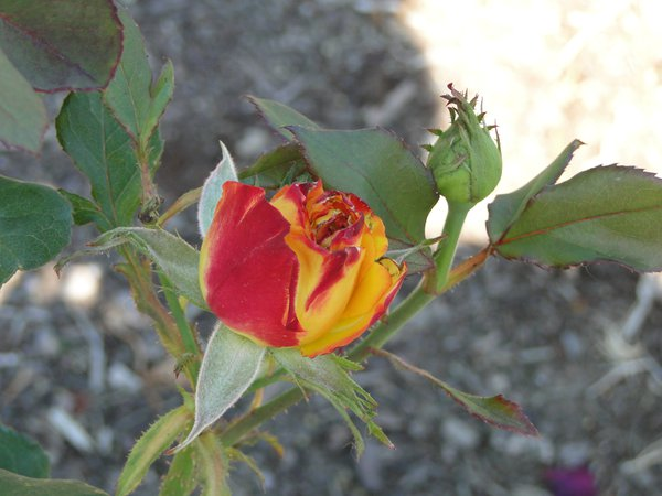 Red/Yellow rose bud thumbnail