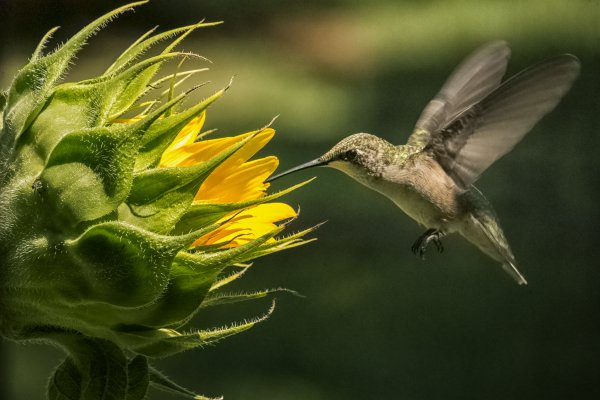 Hummingbird with Sunflower thumbnail