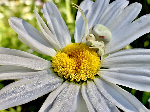 a white crab spider defending its dew-kissed daisy. thumbnail