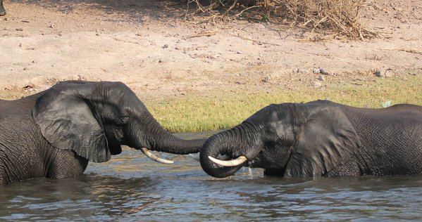 Elephant communication on the Chobe River thumbnail