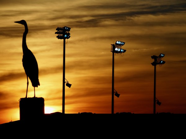 Chesapeake Bay heron stands in the spotlight as dusk descends at the United States Naval Academy thumbnail