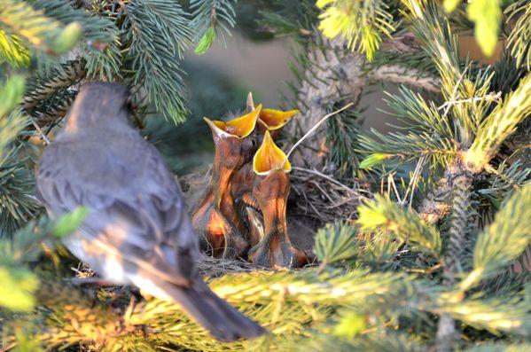 Baby robins thumbnail