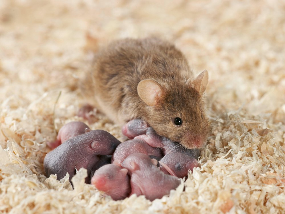 mouse mother.jpg
