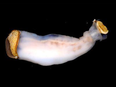 Lithoredo abatanica, the rock-eating shipworm.