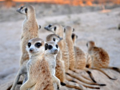 In meerkat society, social rank is determined by size. New research shows that meerkats engage in competitive eating to stay on top.