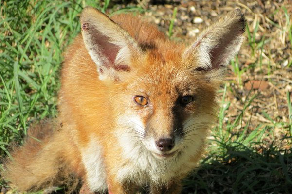 A young fox with mange in our backyard thumbnail