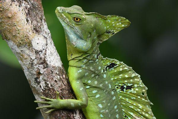 Basilisk Lizard thumbnail