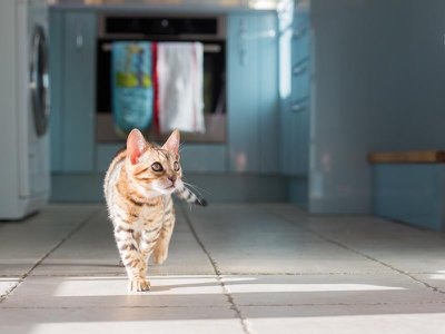 Research suggests humans can occasionally pass the new coronavirus to cats. But felines are very unlikely to be a source of transmission back to humans.