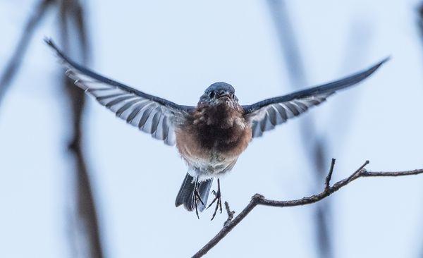 Bluebird coming at you thumbnail