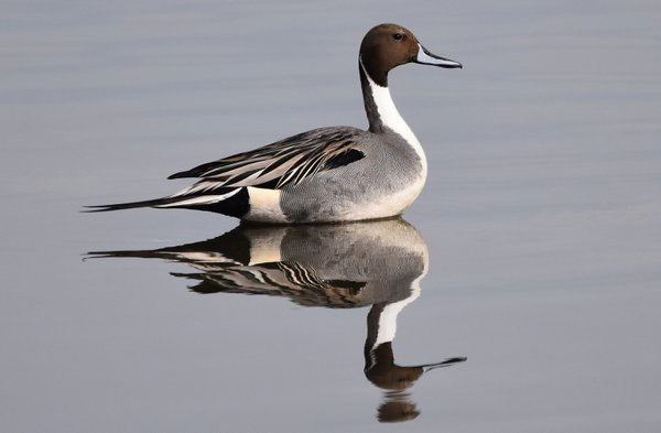 A Pintail Reflective Moment thumbnail