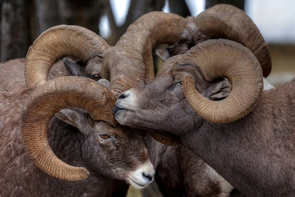 Bighorn Rams bump and push each other during the rut. thumbnail