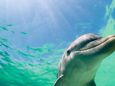 An albino bottlenose dolphin, like this one but without its melanin, was spotted off the coast of Florida in December.
