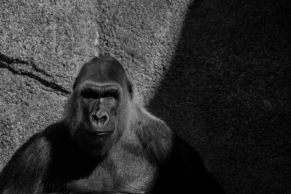 A Western Lowland Gorilla in the LA Zoo thumbnail