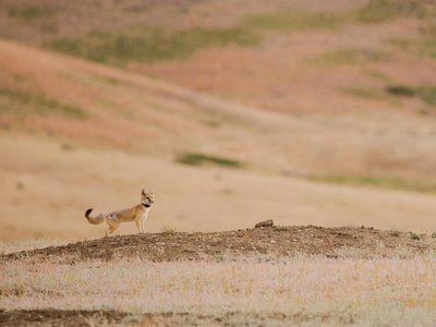 A reintroduced swift fox outfitted with a GPS collar looks out across the shortgrass prairie of the Fort Belknap Reservation in northern Montana. The tribes on the reservation are bringing the species back to Fort Belknap after an absence of more than 50 years.