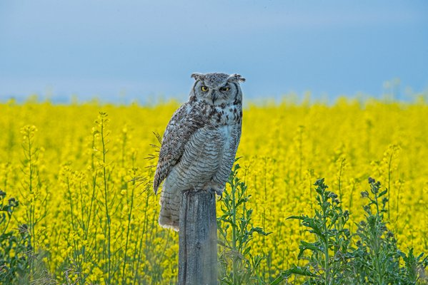 Great Horned owl perched amongst Canola, Alberta thumbnail