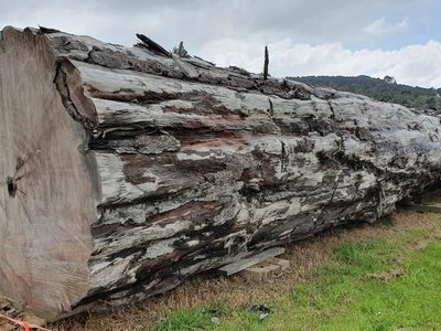 The study begins with fossilized Kauri trees (pictured) that died over 41,000 years ago.