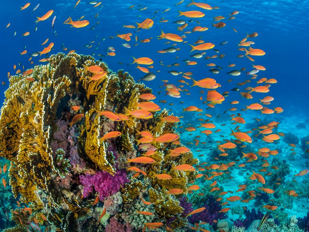 Orange scalefin anthias fish swarm in front of a fire coral in the Red Sea's Ras Mohammed Marine Park, Egypt. (Credit: Alex Mustard, Ocean Image Bank).