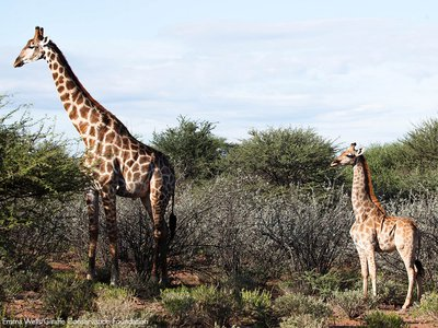 This is the first time that dwarfism has been documented in captive or wild giraffes.