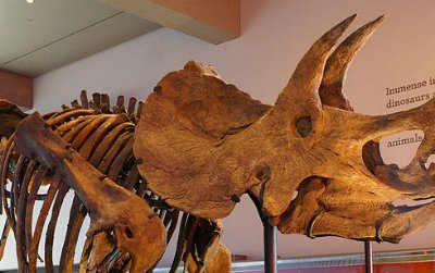 A Triceratops at the Natural History Museum of Los Angeles.