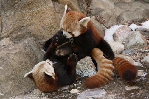 National Zoo Red Panda Meets New Mate