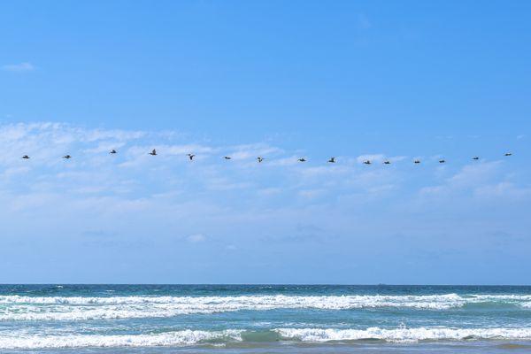 A Pelican Line in San Diego  thumbnail