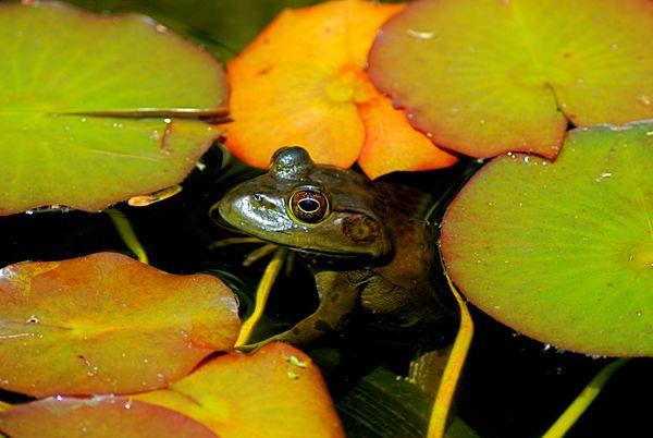 Frog floating among lily pads thumbnail