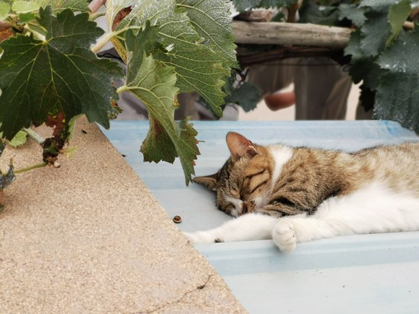 A sleeping cat under the grape vine. thumbnail